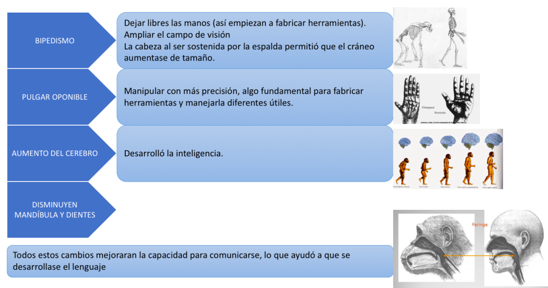proceso de hominizacion esquema
