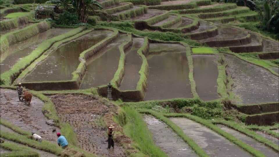 cultivo de arroz en bancales