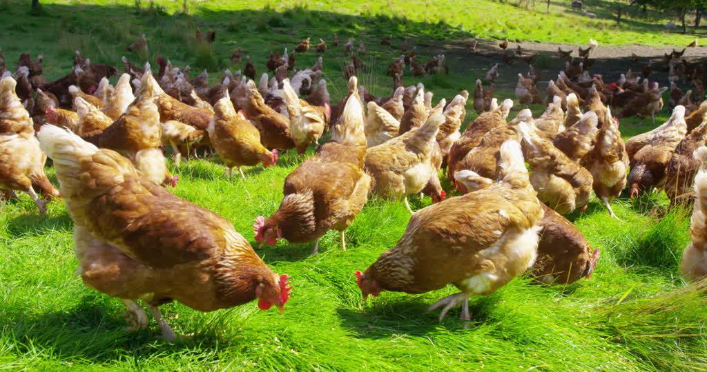 851195872-granja-avicola-gallina-aves-de-corral-al-aire-libre-gallina