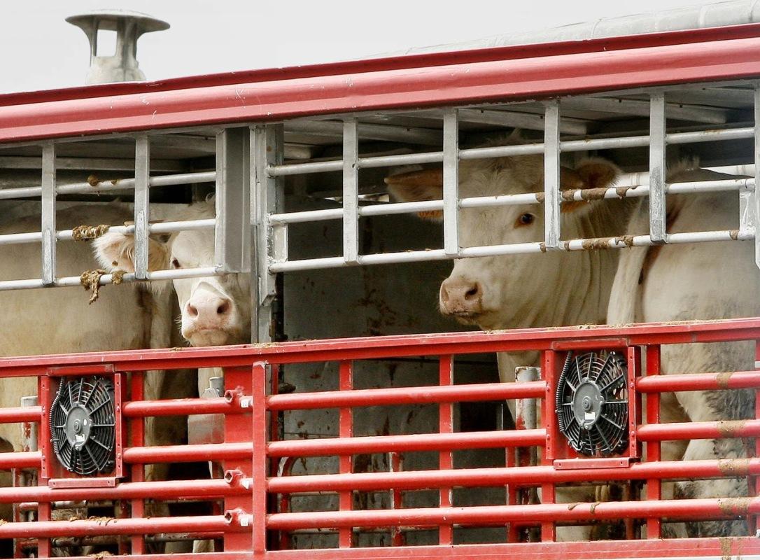 vacas-transporte